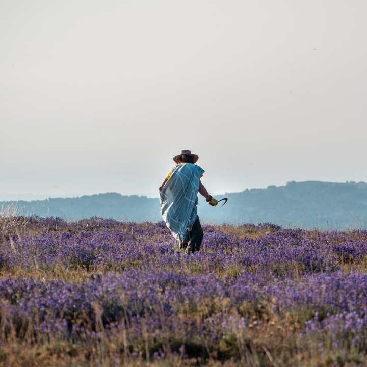 Our wild lavender is harvested by hand every year in Caussols on the mountains surrounding the distillery at 1450 meters of altitude ( 5600 feet altitude ).