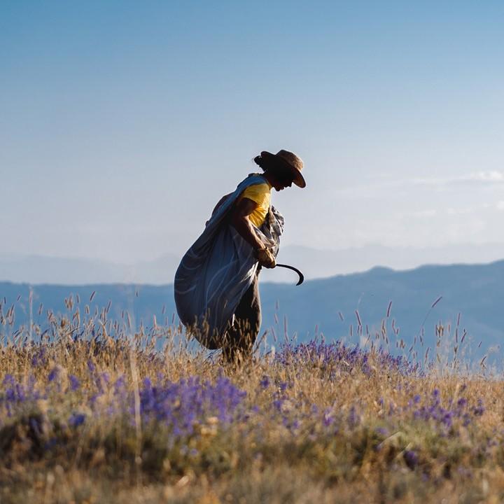 Notre lavande sauvage est ramassée à la faucille sur les montagnes avoisinantes de la distillerie allant jusqu'à 1450 mètres d'altitude.