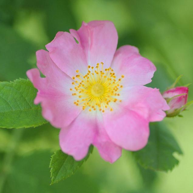 Dog Rose Organic